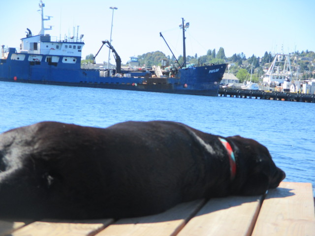 F/V Pavlof, Fishermen's Terminal Seattle, Salty Dog Nap Time Dockside Lab summer sun tanning on deck!