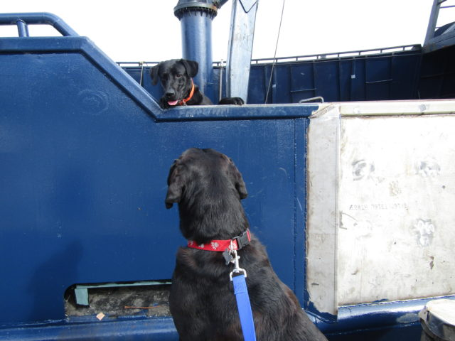 Brenna A. Black Lab & our official Salty Dog Black Lab, Photography by: Salty Dog Boating News, Salty Sea Gal Marine Source!